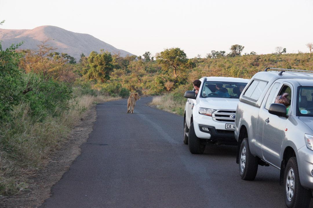 un lion au milieu de la route - réserve de Hluhluwe