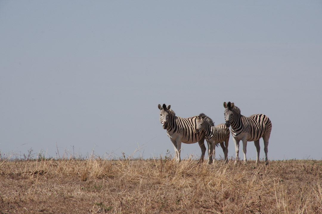 Troupeau de trois zèbres - réserve de Hluhluwe
