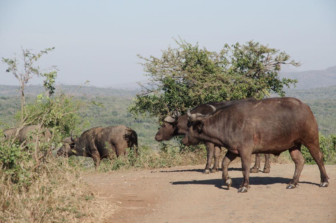 Buffles - réserve de Hluhluwe - Afrique du Sud