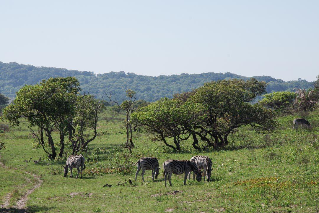 Troupeaux de zèbres dans la réserve d'iSigmangaliso