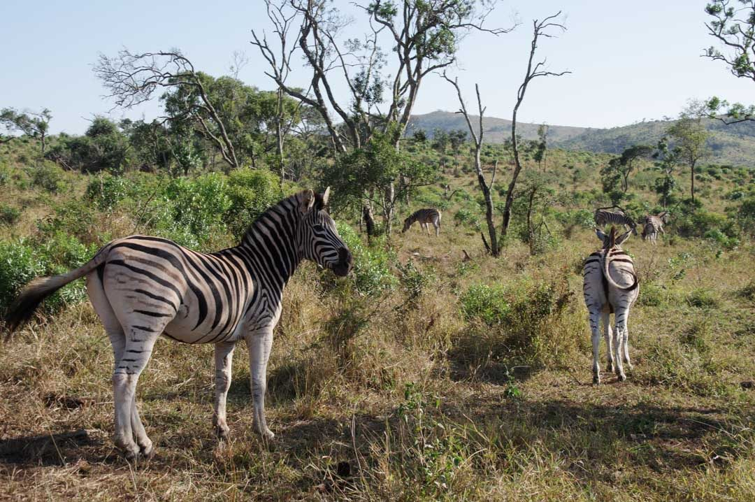 Zebres - réserve de Hluhluwe - Afrique du Sud