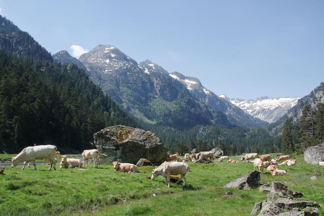 Troupeau de vaches dans les Pyrenees