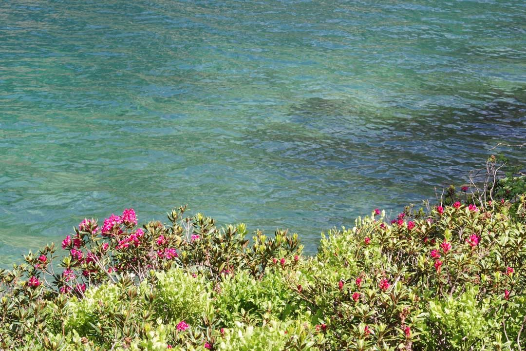 Fleurs sur les rives du Lac de Gaube