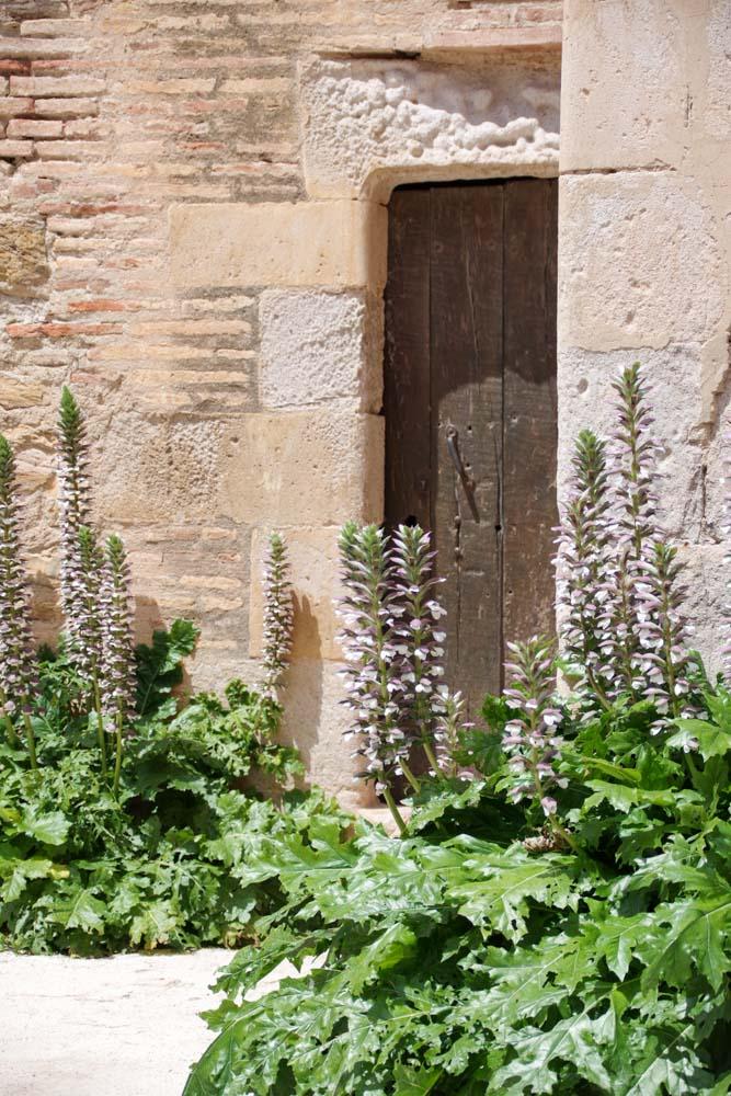 Fleurs d'acanthe - Forteresse de Salses