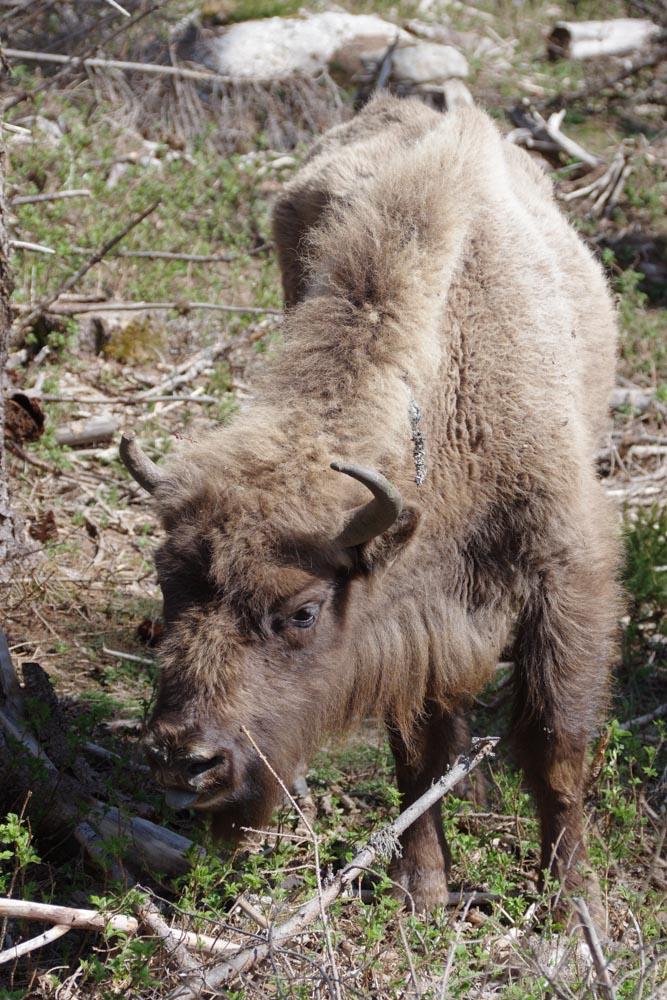 un bison d'Europe