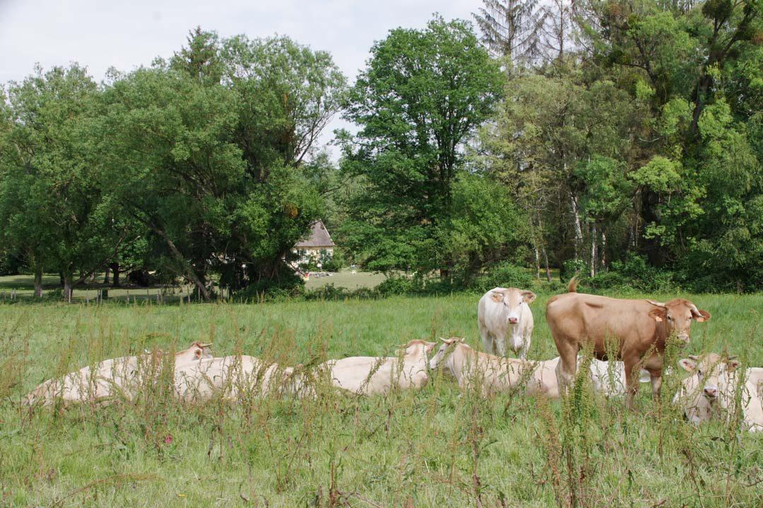 Vaches dans la vallée de Chevreuse