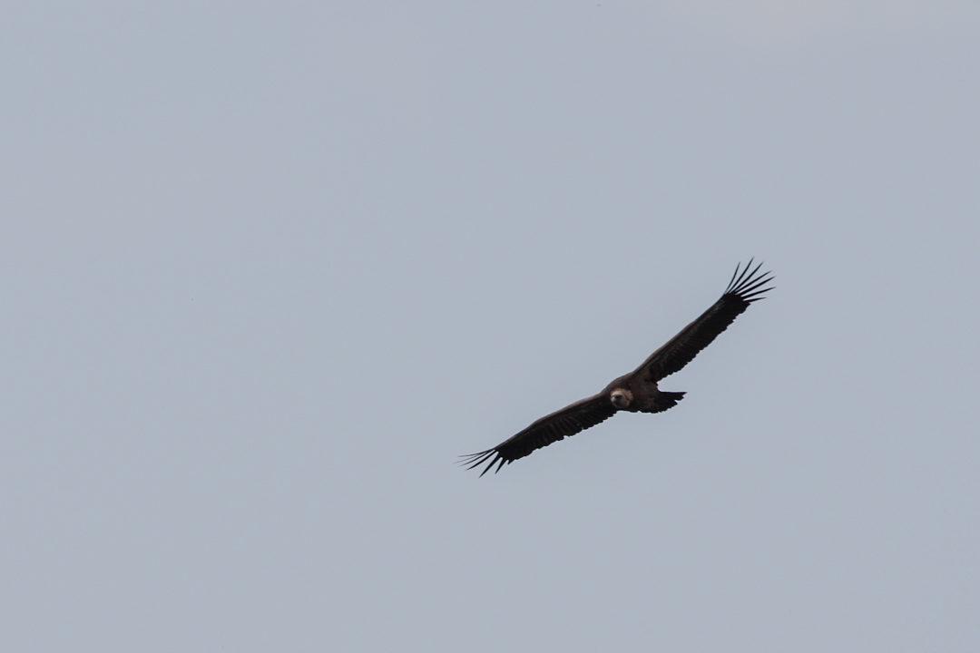 un vautour survolant les gorges de la Jonte