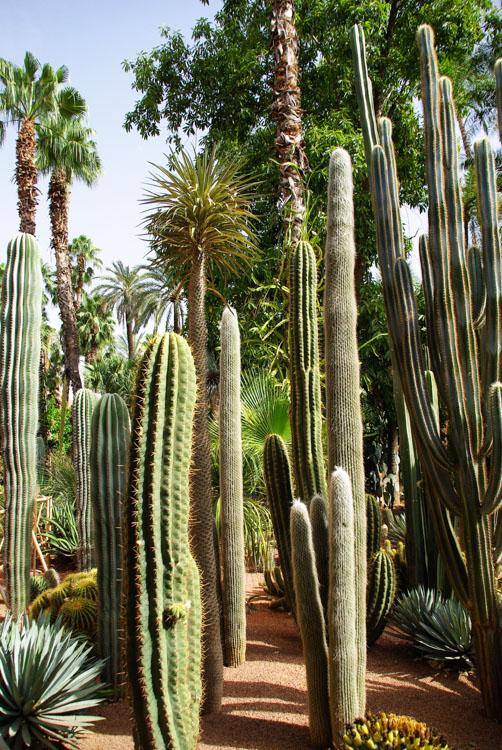 Cactus dans le Jardin Majorelle
