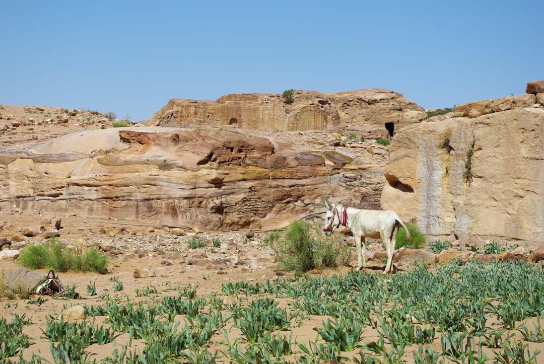 Ane à Petra