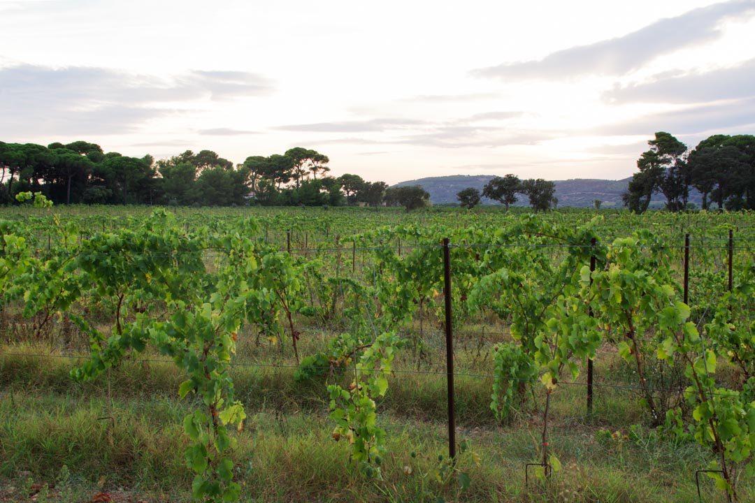 vignobles de l'Herault près de Sète