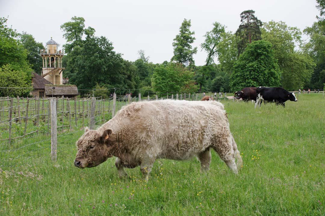 animaux de la ferme au Hameau de la Reine