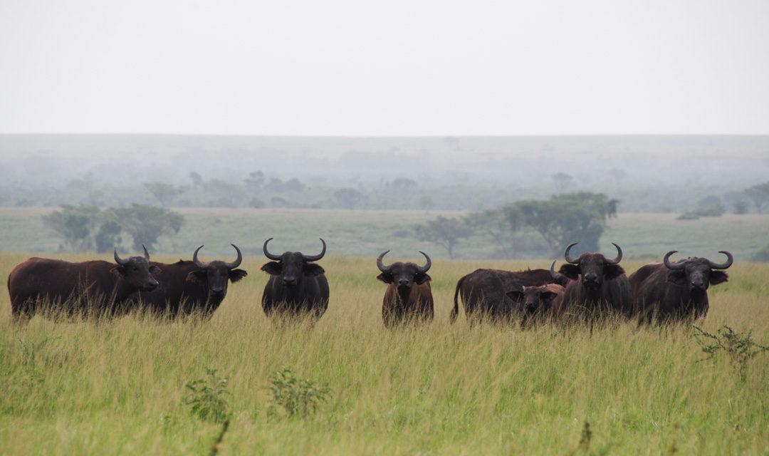 Safari au Parc National de Queen Elizabeth en Ouganda