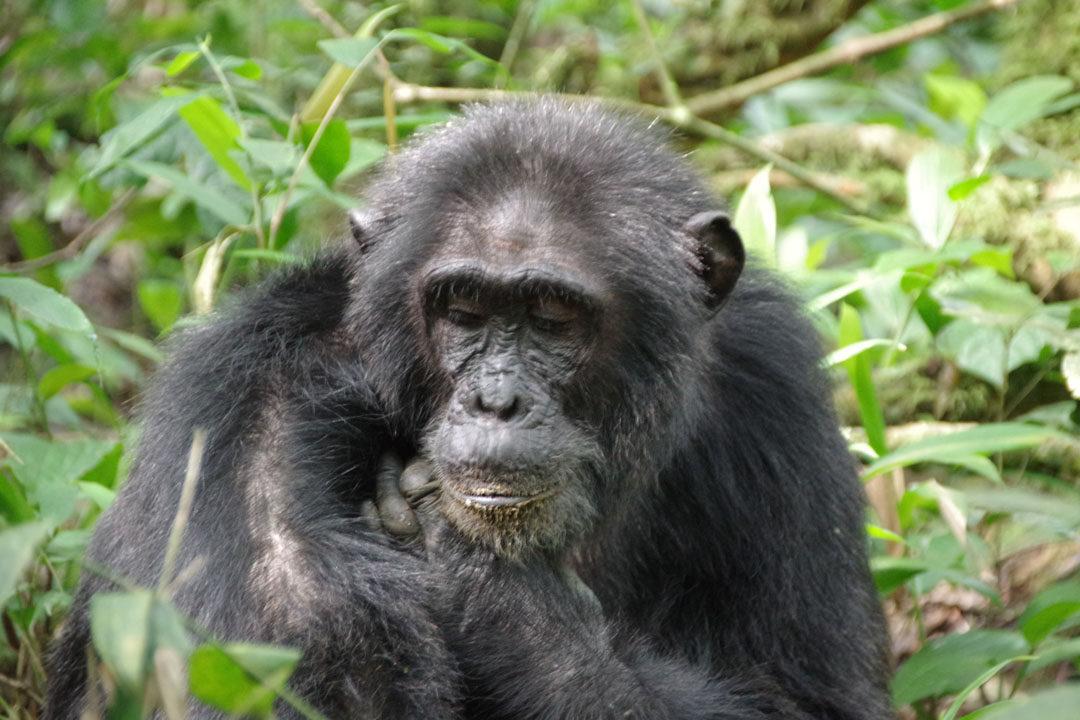 Chimpanzé dans la forêt de Kibale