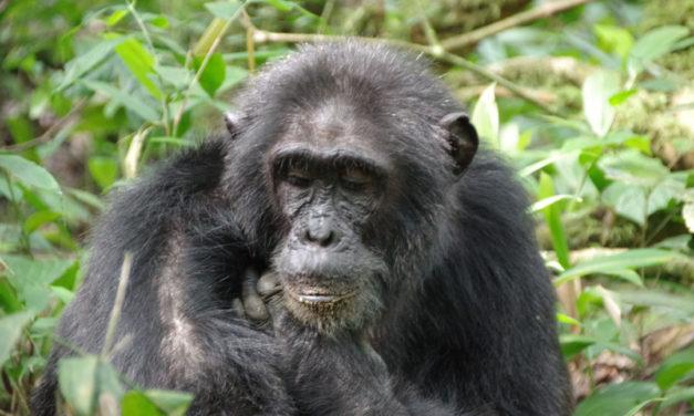 Le Trek aux Chimpanzés dans la forêt de Kibale