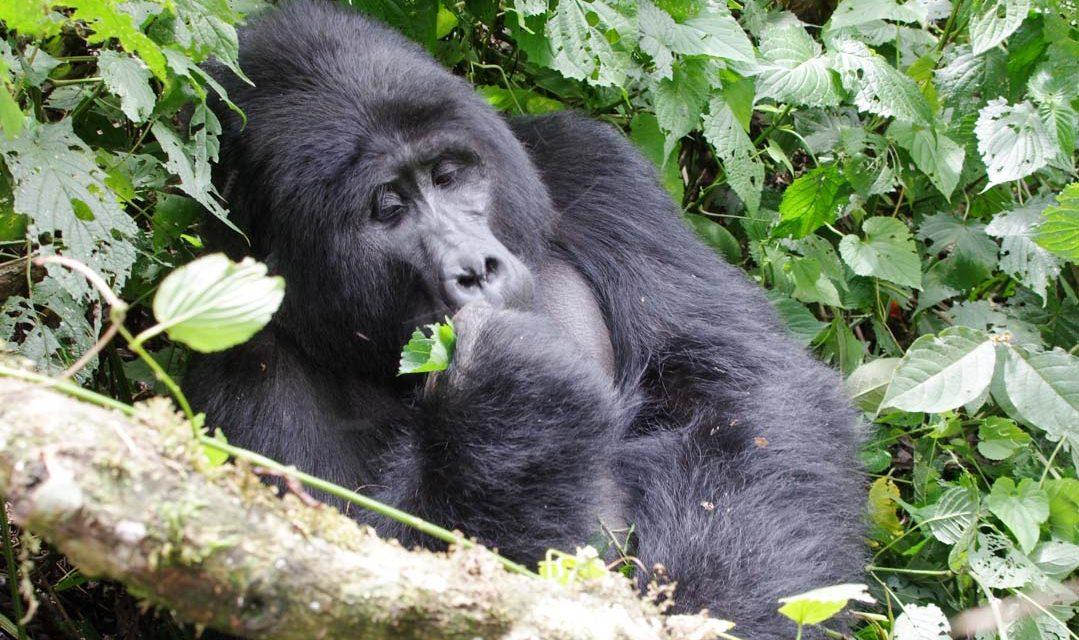 A la rencontre des Gorilles de la forêt de Bwindi