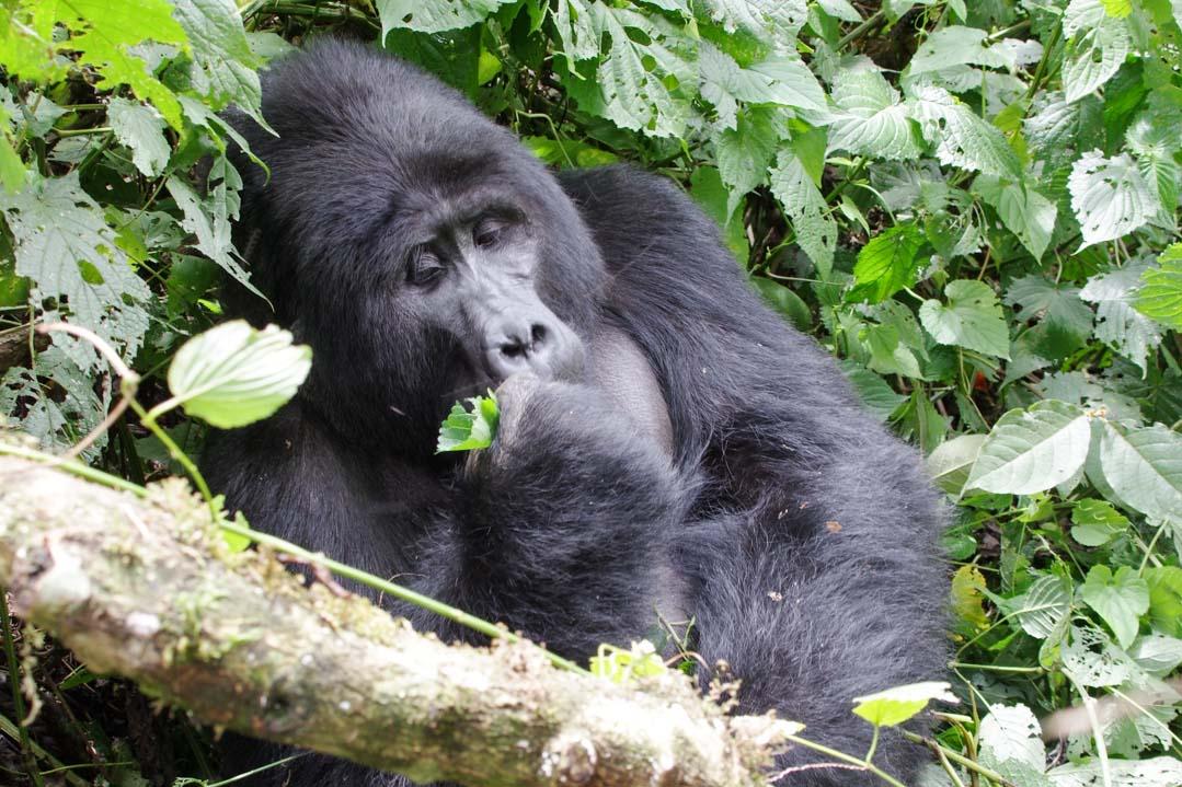 Gorille dans la foret impenetrable de Bwindi