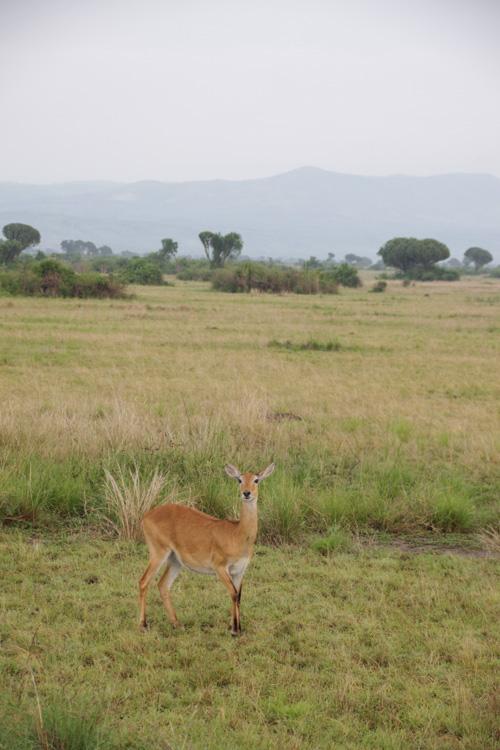 Kob au Parc National de Queen Elisabeth