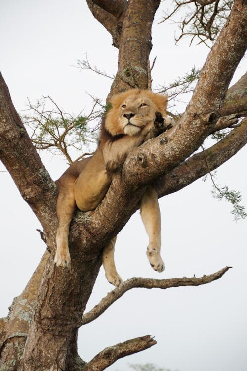 Lion arboricole à Ishasha