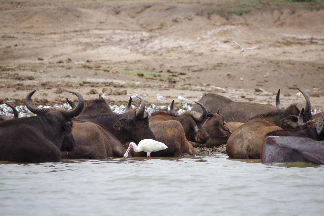 Croisière Safari sur la Kazinga Channel