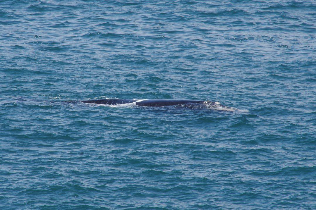 Observer les baleines franches australes à Hermanus