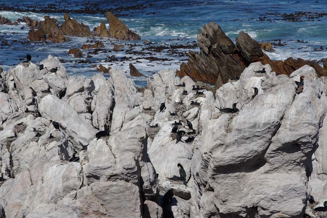 Cormorran - Penguin Nature Reserve - Betty's Bay