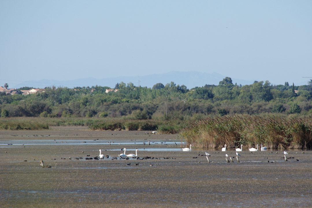 de nombreux oiseaux à observer à l'Etang du Bagnas