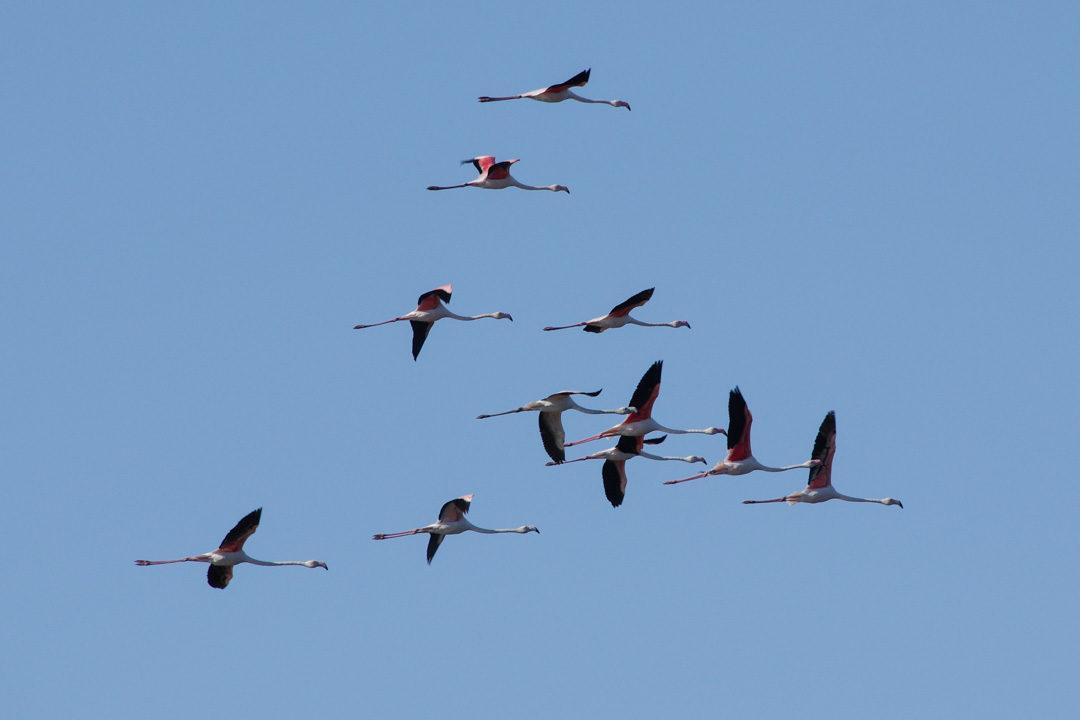 Vol de flamands roses au dessus de la réserve du Bagnas