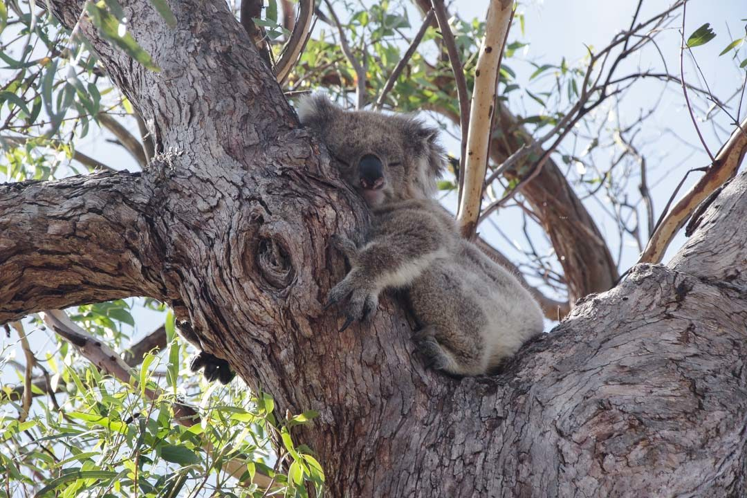 observer les koalas à Raymond Island