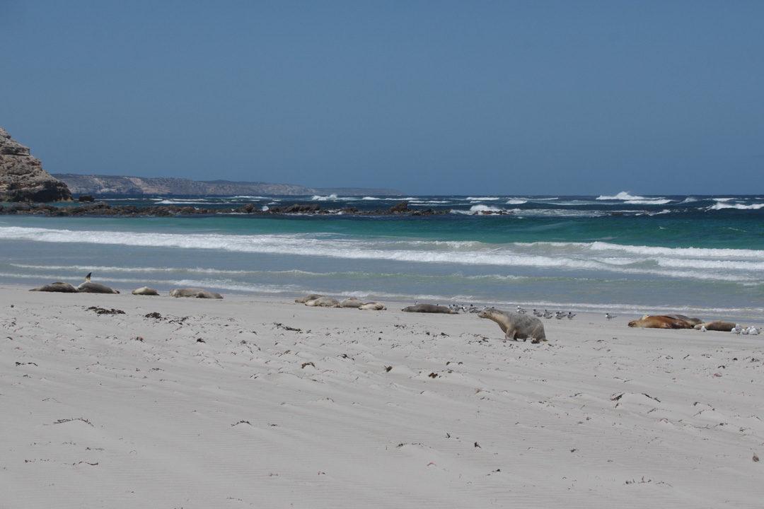 Observer les phoques à Seal Bay - Kangaroo Island