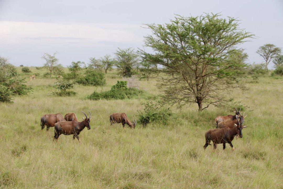 troupeau de damalisques en ouganda