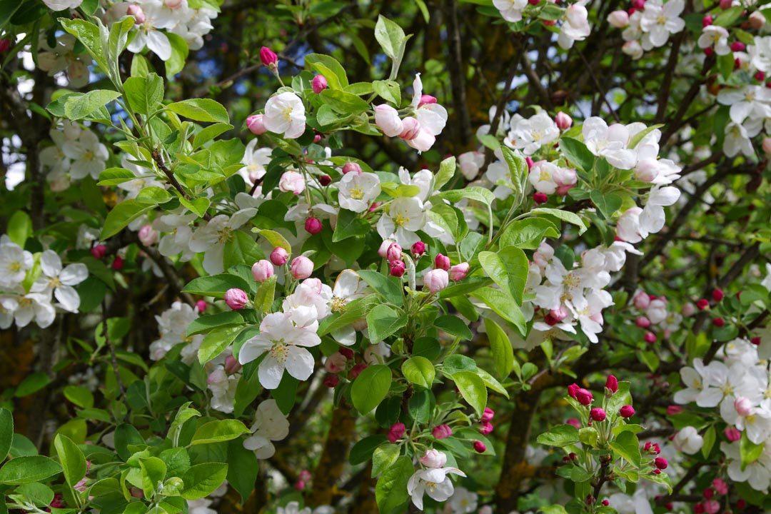 Fleurs de Pommier - Cheverny
