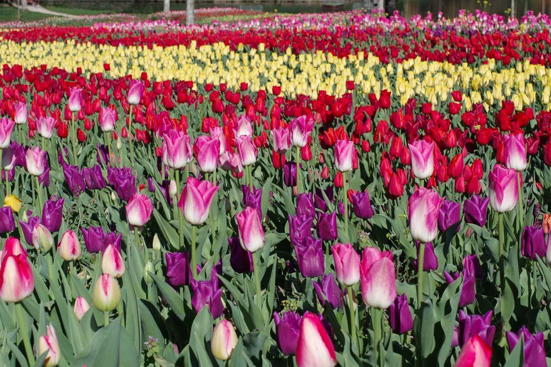 milliers de tulipe à Cheverny