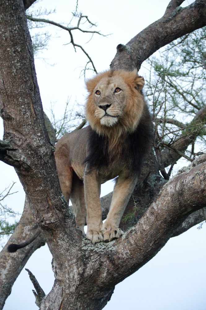 Lion arboricole - Ishasha - Ouganda