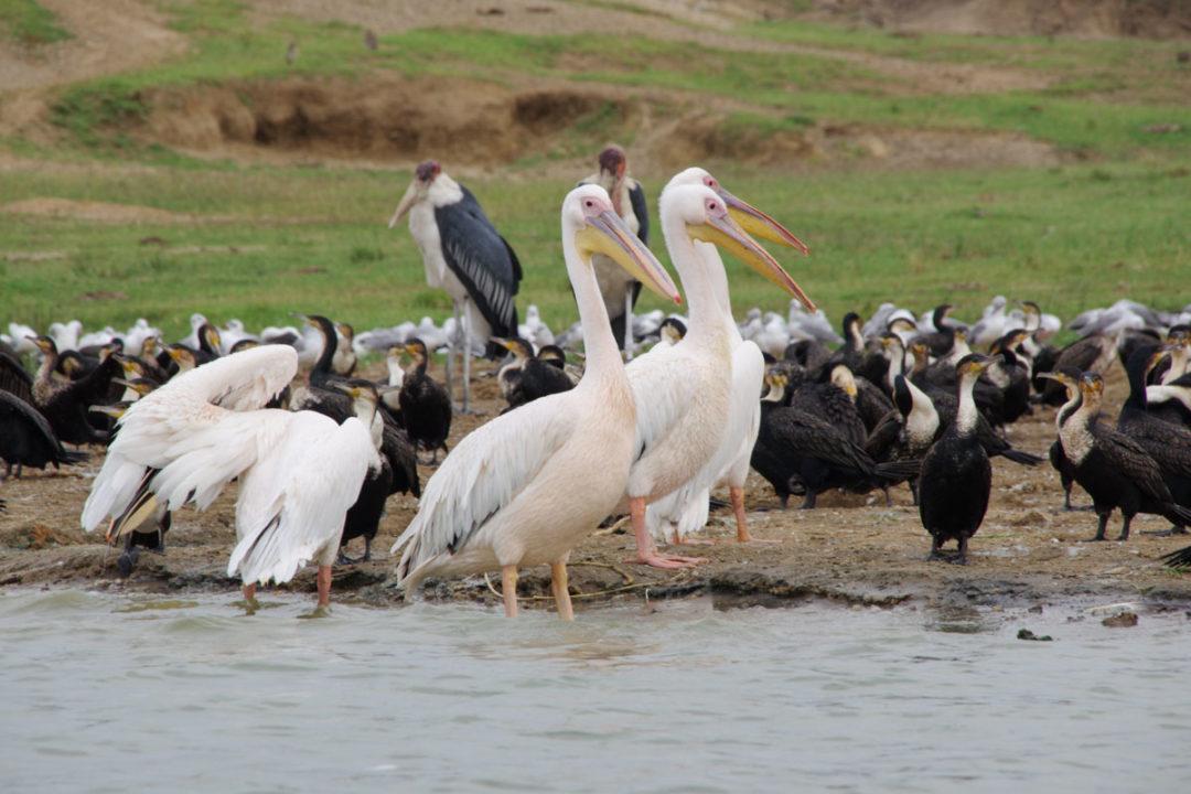 Pélican - Kazinga Channel - Ouganda