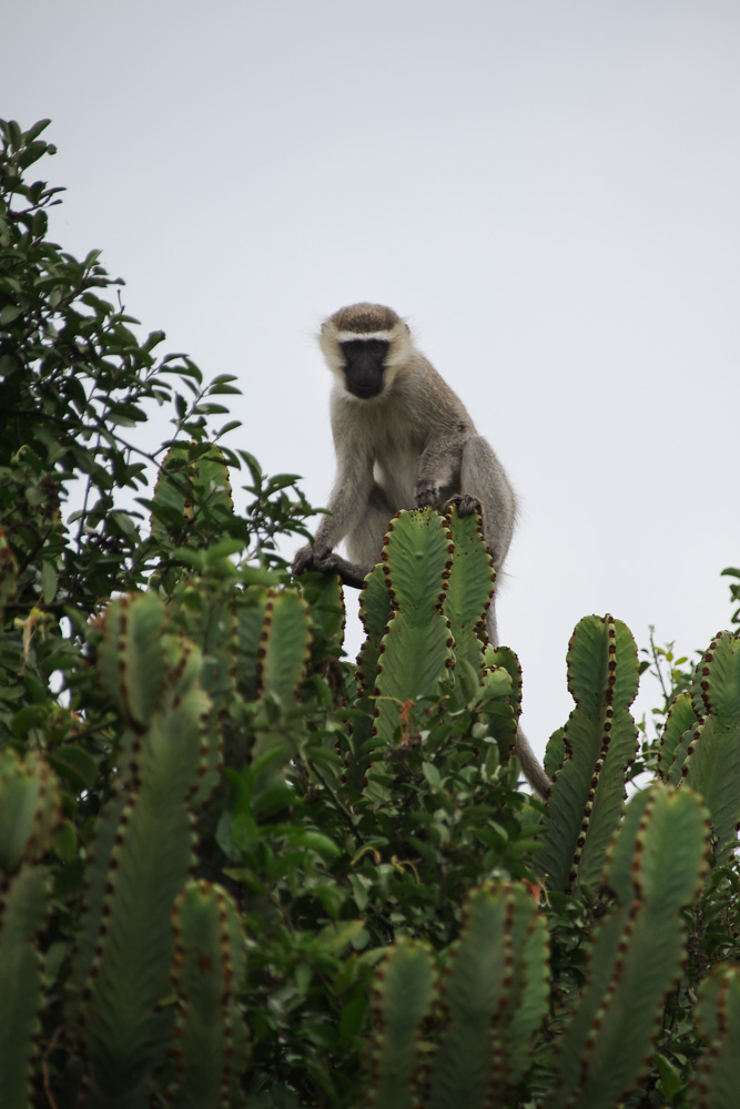 Vervet Monkey - Queen Elisabeth National Park - Ouganda