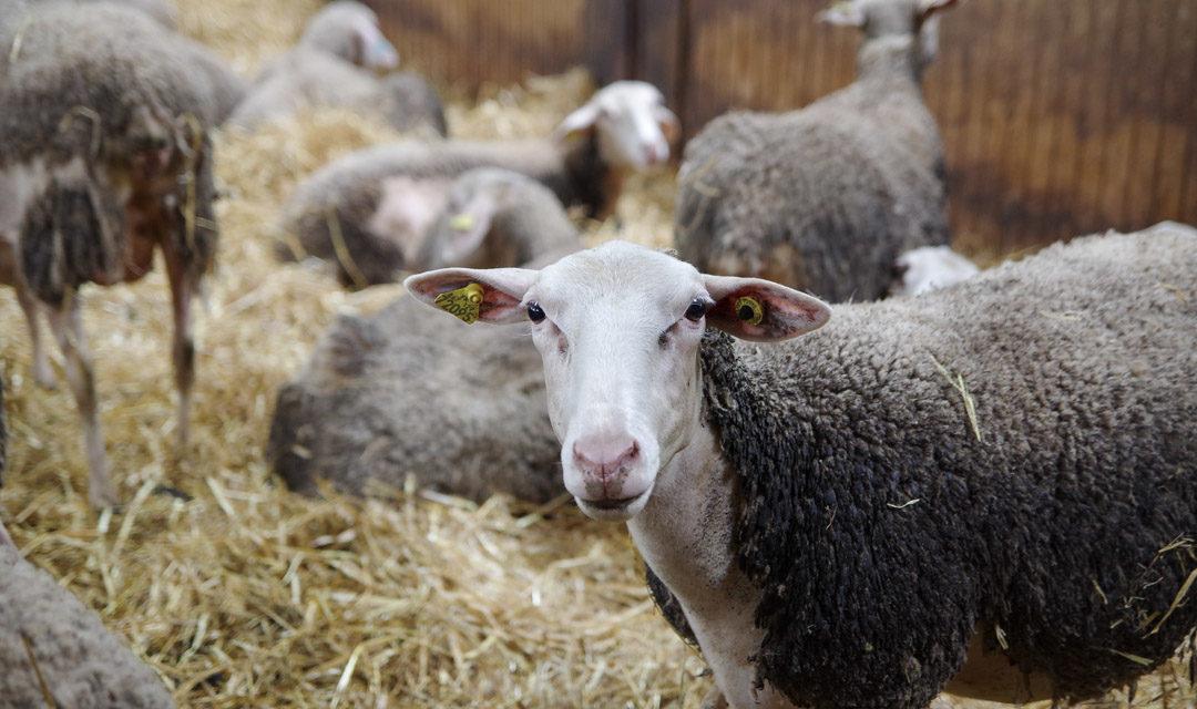 Du pâturage à nos assiettes : visite de fermes laitières en Haute-Garonne