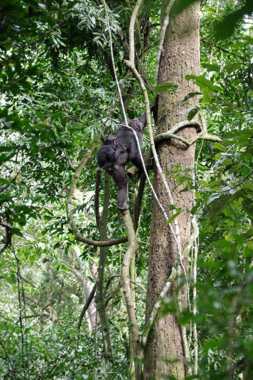 Chimpanzé grimpant dans un arbre avec son bébé dans le dos