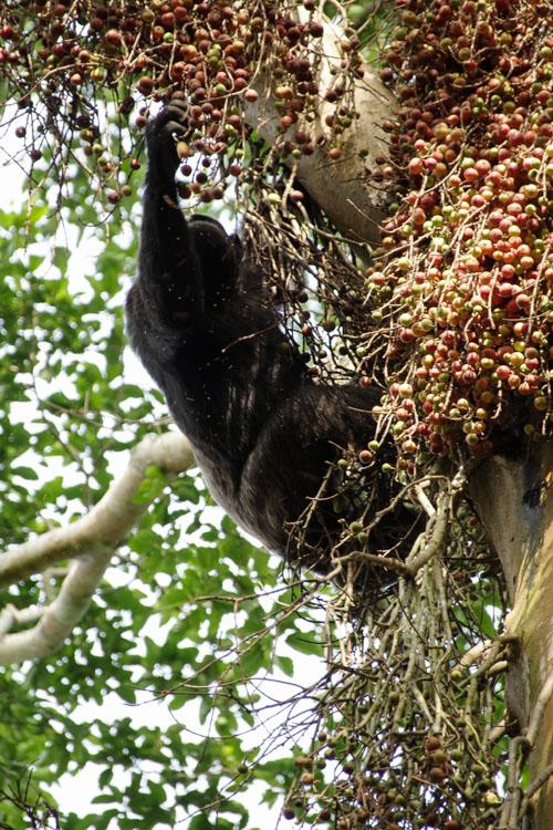 chimpanzé attrapant des fruits