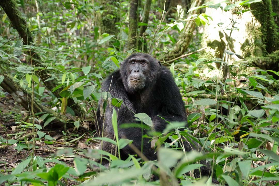 Chimpanze dans la forêt de Kibale