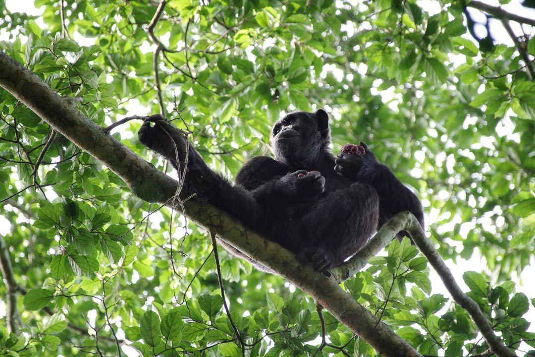 Chimpanze dans la forêt de Kibale - Ouganda