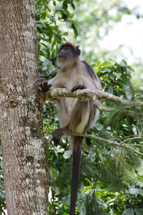 Colobe rouge - Foret de Kibale - Ouganda
