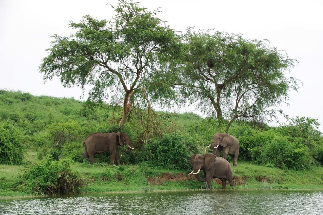 Elephant au bord de Kazinga Channel