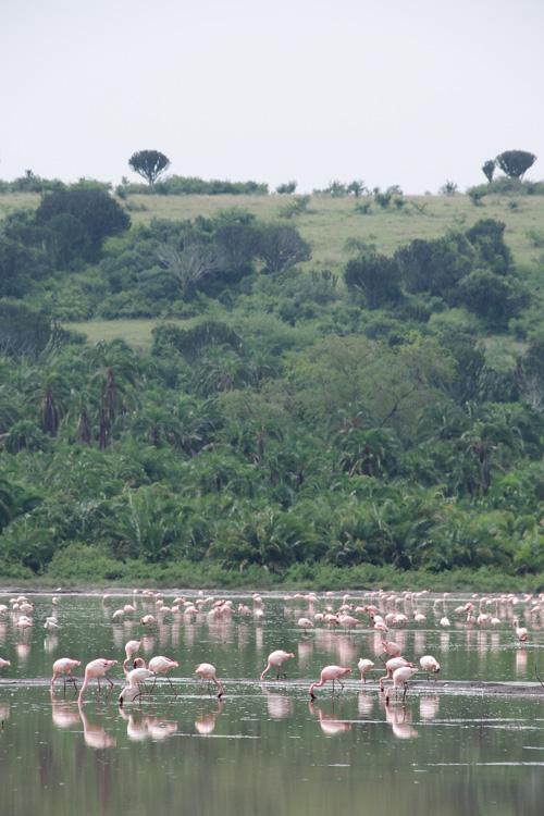 Flamands Roses au Lac Katwe