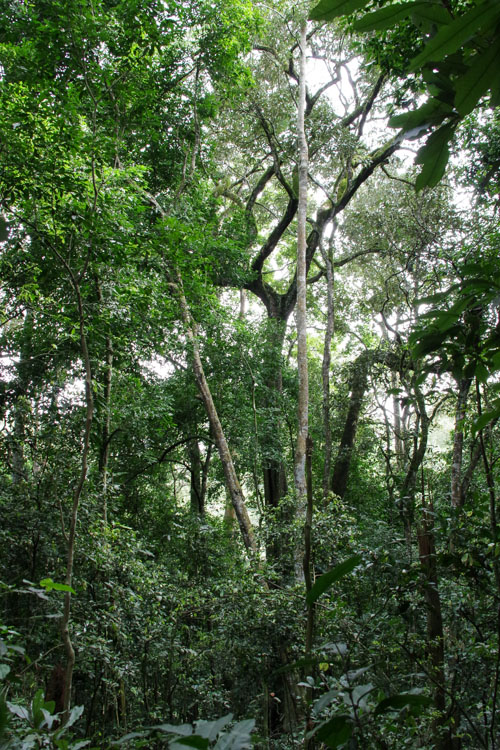 la foret tropicale de Kibale