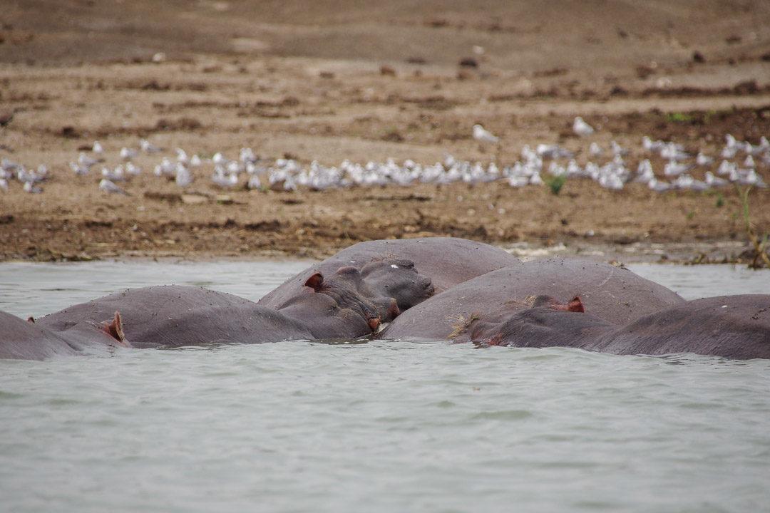 Hippopotames - Safari sur Kainga Channel