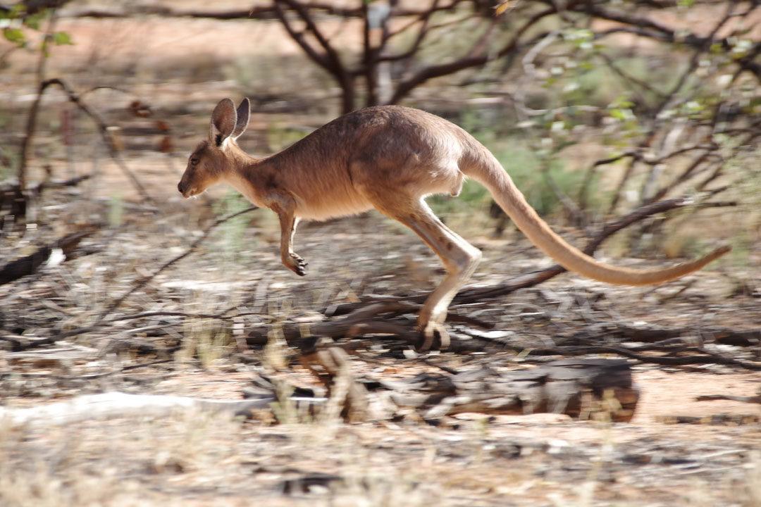 Kangourou dans le jardin botanique d'Alice Springs