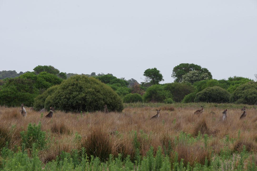 Kangourous - Wilson Promontory National Park