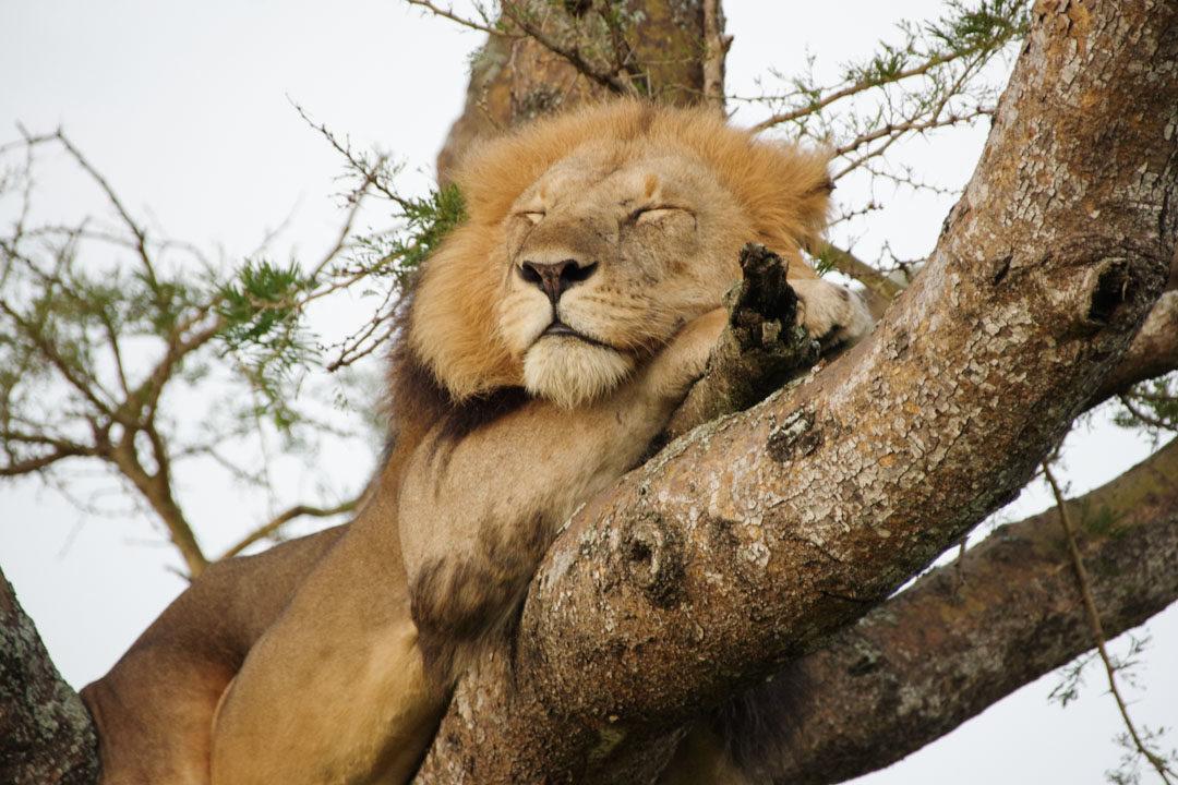 Lion arboricoles en Ouganda