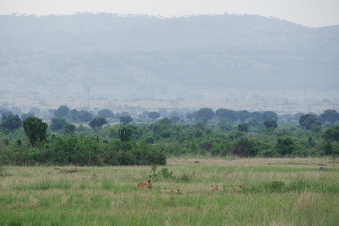 Des lionnes et lionceaux - Parc National Queen Elizabeth