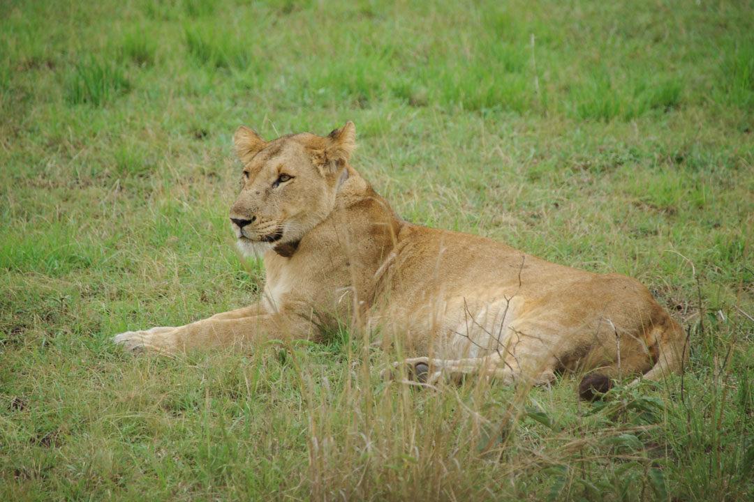 Lionne se reposant dans le parc national de Queen Elizabeth